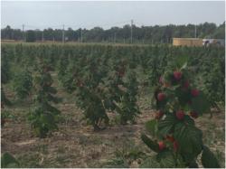 Бизнеса по выращиванию малины